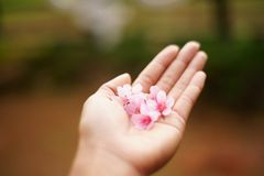Cherry Blossom dans ma main Branches et fleurs de Cherry Blossom Photos libres de droits
