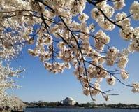 Cherry Blossom de DC Imagen de archivo libre de regalías