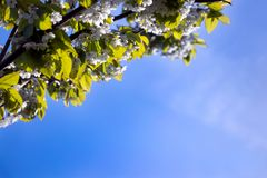 Cherry blossom with a deep blue sky background Stock Photo