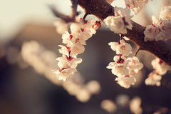 Cherry blossom detail Royalty Free Stock Photo