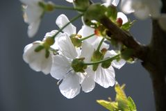 Cherry Blossom. From a different angle stock photo