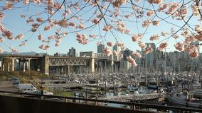 Cherry Blossom dolly, Vancouver Marina. A dolly move past spring cherry blossoms framing the Burrard Street Bridge and the marina near Granville Island in stock video footage