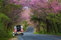 Cherry Blossom e sakura em Doi Ang Khang Imagem de Stock