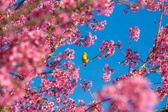 Cherry Blossom e sakura em Doi Ang Khang Fotografia de Stock