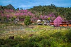 Cherry Blossom e sakura em Doi Ang Khang Imagem de Stock Royalty Free