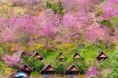 Cherry Blossom e sakura em Doi Ang Khang em Chiang Mai Foto de Stock Royalty Free