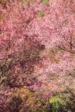 Cherry Blossom eller sakura blommar på Khun Chang Kian, Royaltyfri Foto