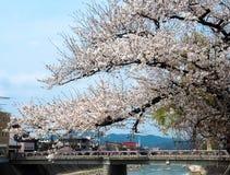 Cherry Blossom en ciudad vieja Imagen de archivo libre de regalías