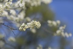Cherry Blossom en el jardín Fotos de archivo libres de regalías