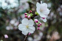 Cherry Blossom en el jardín por la bahía Imagen de archivo libre de regalías