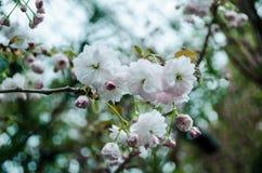 Cherry Blossom en el jardín por la bahía Fotos de archivo libres de regalías