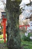 Cherry Blossom en la capilla de Kyoto Imagenes de archivo