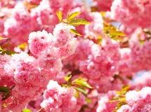Cherry Blossom en primavera, flores rosadas hermosas Imagenes de archivo