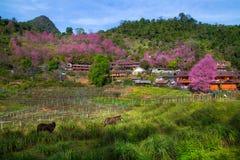 Cherry Blossom en sakura in Doi Ang Khang Stock Foto's
