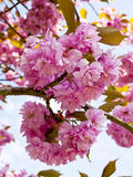 Cherry Blossom in an English Garden in Lancashire Stock Photos
