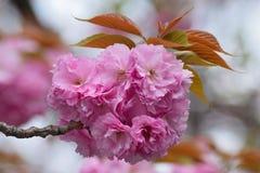 Cherry Blossom för japanska rosa färger för bakgrund filial Arkivbild