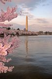 Cherry Blossom Festival. This was taken on the Tidal Basin in Washington DC during the Cherry Blossom's peak bloom Royalty Free Stock Photos