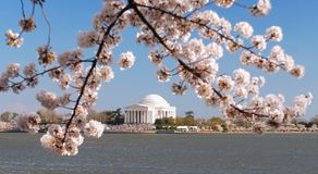 Cherry Blossom Festival. This was taken on the Tidal Basin in Washington DC during the Cherry Blossom's peak bloom Royalty Free Stock Photo