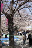 Cherry blossom festival Royalty Free Stock Photography