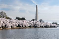 Cherry Blossom Festival. This was taken on the first day of the National Cherry Blossom Festival on the Tidal Basin in Washington DC Stock Photo