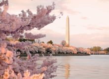 Cherry Blossom Festival Royalty Free Stock Photo