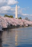 Cherry Blossom Festival. Taken at the Tidal Basin in Washington DC during peak blomming of the Cherry Trees Royalty Free Stock Photo