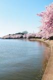 Cherry Blossom Festival Imagen de archivo