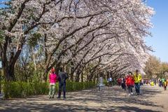 Cherry Blossom Festival in de lente, het Land Zuid-Korea van Seoel Stock Foto's