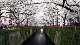 Cherry blossom festival in full bloom at Meguro River . Meguro River is one of the best place to enjoy it. TOKYO, JAPAN - MARCH 29, 2019: Cherry blossom festival stock footage