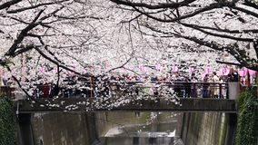 Cherry blossom festival in full bloom at Meguro River . Meguro River is one of the best place to enjoy it. TOKYO, JAPAN - MARCH 29, 2019: Cherry blossom festival stock video footage