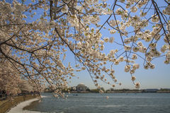 Cherry Blossom Festival i Washington D.c. Arkivbilder