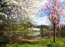 The Cherry Blossom Festival in New Jersey Royalty Free Stock Photo
