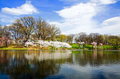 The Cherry Blossom Festival in New Jersey Stock Image