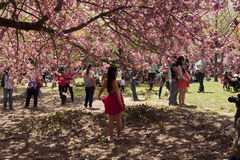 Cherry blossom festival Stock Photos