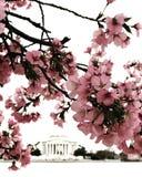 Washington DC cherry blossom festival. Cherry blossom festival spring blooming beautiful lovely great season wonderful Royalty Free Stock Photos