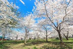 Cherry Blossom Festival in spring Stock Image