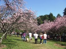 Cherry Blossom Festival. This festival takes place once a year at Do Carmo Park in Sao Paulo, Brazil Stock Photo