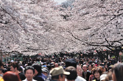 Cherry blossom festival in Tokyo Royalty Free Stock Images
