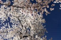 Cherry Blossom Festival - Washington, D C royalty-vrije stock foto's