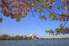 Cherry Blossom Festival in Washington D.C. Royalty Free Stock Photo