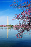 Cherry blossom festival in Washington DC Royalty Free Stock Photo
