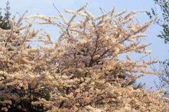 Cherry blossom Festival, Washington DC Royalty Free Stock Photos