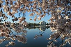 Cherry Blossom Festival Washington DC Immagine Stock Libera da Diritti