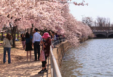 Cherry Blossom Festival Washington DC Royalty Free Stock Image