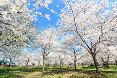 Cherry blossom festival in Washington DC Royalty Free Stock Image