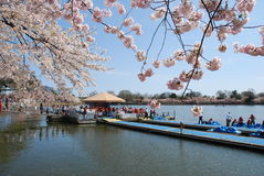 Cherry Blossom Festival in Washington DC, USA Royalty Free Stock Image