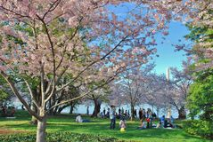 Cherry Blossom Festival Royalty Free Stock Photos