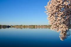Cherry Blossom Festival. Washington DC Royalty Free Stock Photo