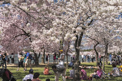 The Cherry Blossom Festival in Washington, DC Royalty Free Stock Photography