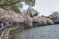 The Cherry Blossom Festival in Washington, DC Stock Photo